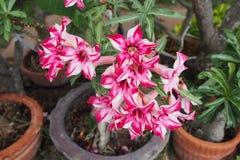 在夏时内将开花的好的桃红色花 免版税图库摄影