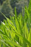在夏时玉米的绿色狂放的树离开 免版税图库摄影