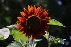 在夏时生长的向日葵 库存图片