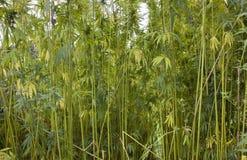 在夏时的大麻领域 库存照片