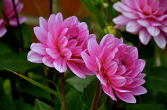 在夏时的桃红色花 库存照片