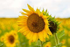 在夏令时向日葵L的向日葵 库存图片
