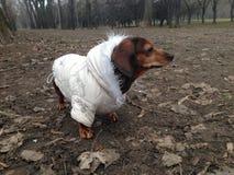 在外套的达克斯猎犬狗在公园 免版税库存照片