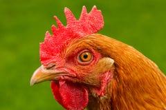 在外形特写镜头的红色鸡 免版税库存图片