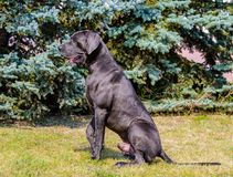 在外形的丹麦种大狗位子 免版税库存图片