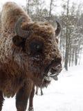 在外形的北美野牛面孔接近照相机 阿尔泰繁殖的北美野牛 图库摄影