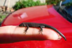 在外形的小的棕色蜥蜴在人的手指,红色背景,一个女性手特写镜头 免版税库存图片