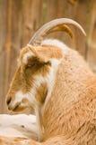 在外形的山羊 免版税库存照片
