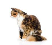 在外形的杂色猫 背景查出的白色 免版税图库摄影