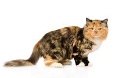 在外形的杂色猫 背景查出的白色 库存照片