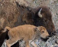 在外形的母牛和小牛北美野牛 免版税库存照片