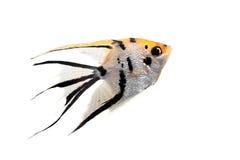 在外形的神仙鱼在白色 库存图片