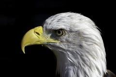 在外形的美国白头鹰 库存图片