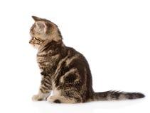 在外形的苏格兰小猫 背景查出的白色 免版税库存图片