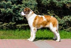 在外形的莫斯科看家狗 免版税库存照片