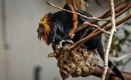 在外形的金黄狮子绢毛猴! 库存照片