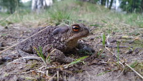 在外形的青蛙 图库摄影