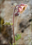 在外形的水杨梅属 库存照片