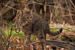 在外面步行的一只猫 狩猎 库存照片