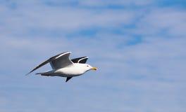 在多云天空的大白色海鸥 免版税库存图片
