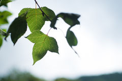 在多云天空的绿色叶子 免版税库存照片
