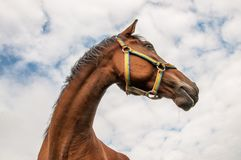 在多云天空背景的一匹马 库存照片