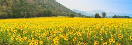 在多云蓝天和明亮的太阳光的向日葵领域 免版税库存图片