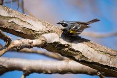 在多伦多公园的黄色rumped鸣鸟 免版税库存图片