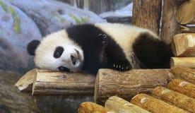 在多伦多动物园的熊猫 免版税库存图片