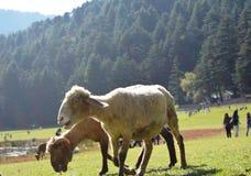 在多小山谷的山羊 库存图片