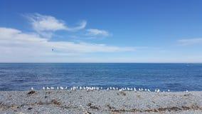 在多岩石的海滩的白色海鸥在Kaikoura,新西兰 图库摄影