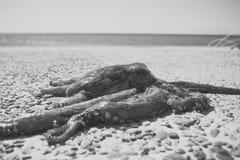 在多岩石的海滩的章鱼在海,海洋附近 章鱼被采取在海外面在风暴以后 在水外面的黑暗的章鱼 触手 图库摄影
