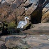 在多岩石的海滩的蓝色苍鹭 库存照片