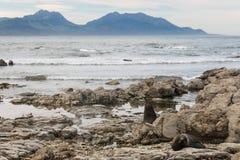 在多岩石的海滩的Nfur封印在Kaikoura 免版税库存照片