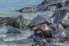 在多岩石的海滩,加拉帕戈斯,厄瓜多尔的海狼 库存图片