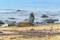 在多岩石的海滩,加拉帕戈斯,厄瓜多尔的海狼 免版税图库摄影