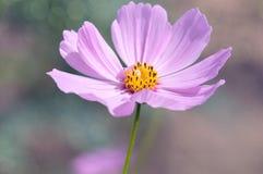 在多彩多姿的背景的一朵偏僻的桃红色花在庭院里 库存照片