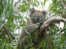 在多枝桉树的逗人喜爱的考拉 免版税库存照片