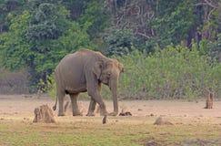 在多灰尘的河滩的大象 免版税库存图片