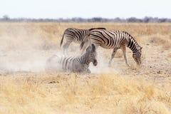 在多灰尘的白色沙子的斑马辗压 免版税图库摄影