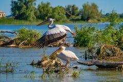 在多瑙河三角洲的巨大白色鹈鹕(Pelecanidae)飞行 免版税图库摄影