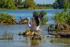 在多瑙河三角洲的巨大白色鹈鹕(Pelecanidae)飞行 免版税库存图片