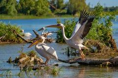 在多瑙河三角洲的巨大白色鹈鹕(Pelecanidae)飞行 库存照片