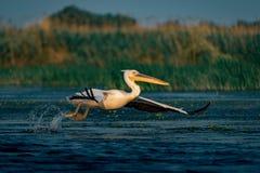 在多瑙河三角洲的巨大白色鹈鹕(Pelecanidae)飞行 图库摄影