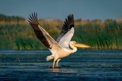 在多瑙河三角洲的巨大白色鹈鹕(Pelecanidae)飞行 免版税库存照片