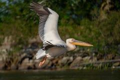 在多瑙河三角洲的巨大白色鹈鹕(Pelecanidae)飞行 库存图片