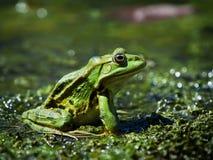 在多瑙河三角洲的沼泽青蛙,罗马尼亚 免版税库存照片