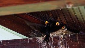 在多瑙河三角洲的燕子巢 免版税库存图片