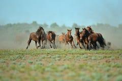 在多瑙河三角洲的野马 库存照片