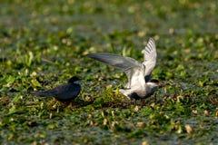 在多瑙河三角洲罗马尼亚的燕鸥家庭 免版税库存照片